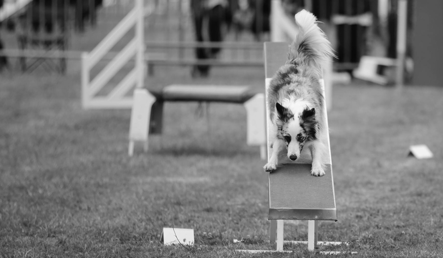Concours Agility 31 Mars 2019